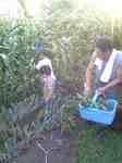 corn.picking.jpg